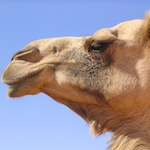 The_story_of_the_smiling_camel